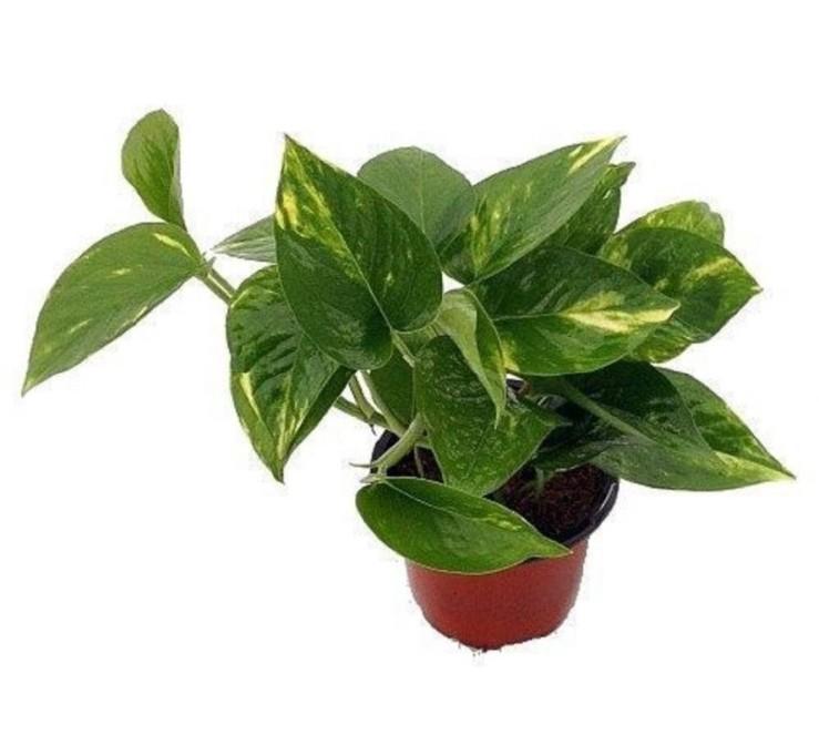 25 Office Desk Plants - Golden Devil's Ivy