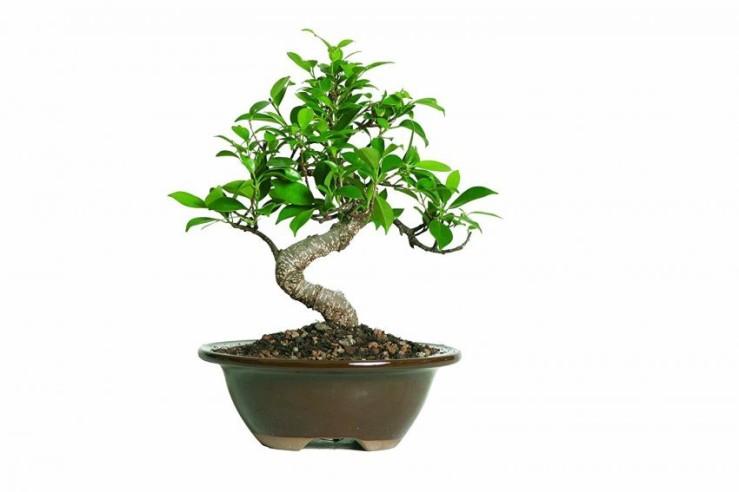 25 Office Desk Plants - Ficus Bonsai