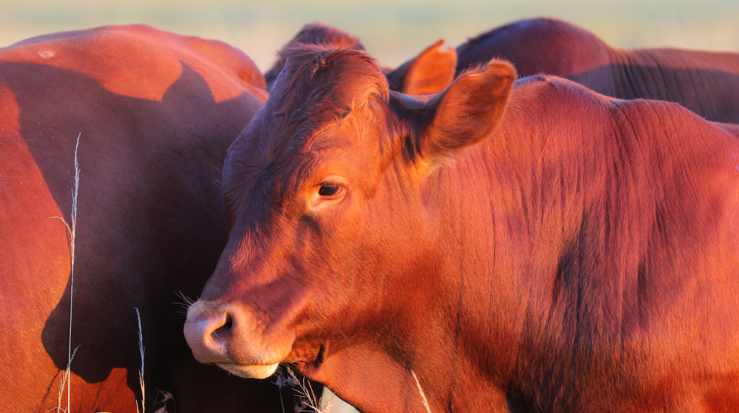 Cattle Ranchers Applaud New US Beef Export Deal with China