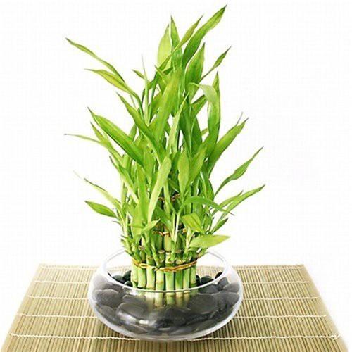 25 Office Desk Plants - Bamboo Arrangement