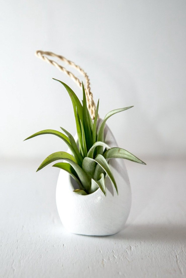 25 Office Desk Plants - Hanging Air Plant